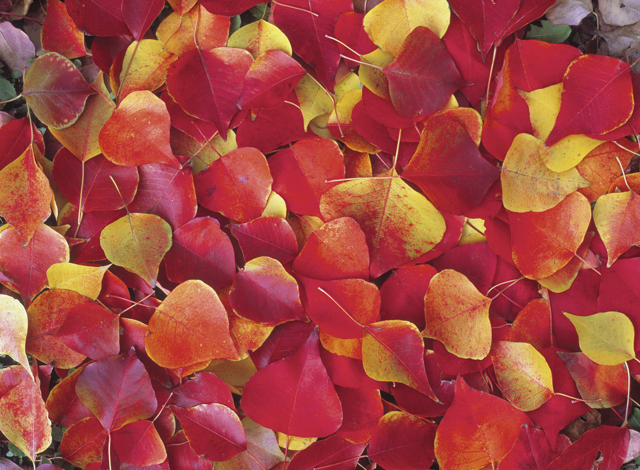 Leaves in Fall Color on Ground
